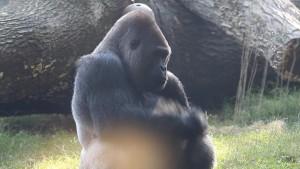 18 Gorila di Kebun Binatang Atlanta Positif COVID-19