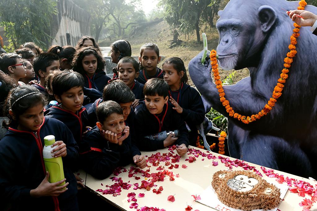 Simpanse di India Rayakan Ulang Tahun ke-58