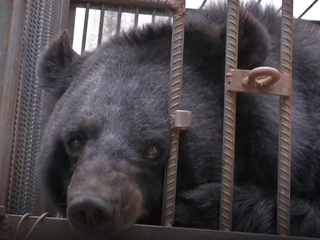 Dikira Anak Anjing, Keluarga di Tiongkok Pelihara Beruang