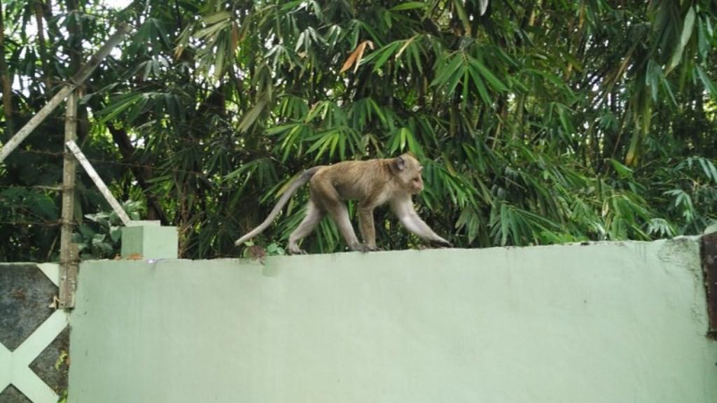 Kawanan Kera Ekor Panjang tak Turun dari Merapi