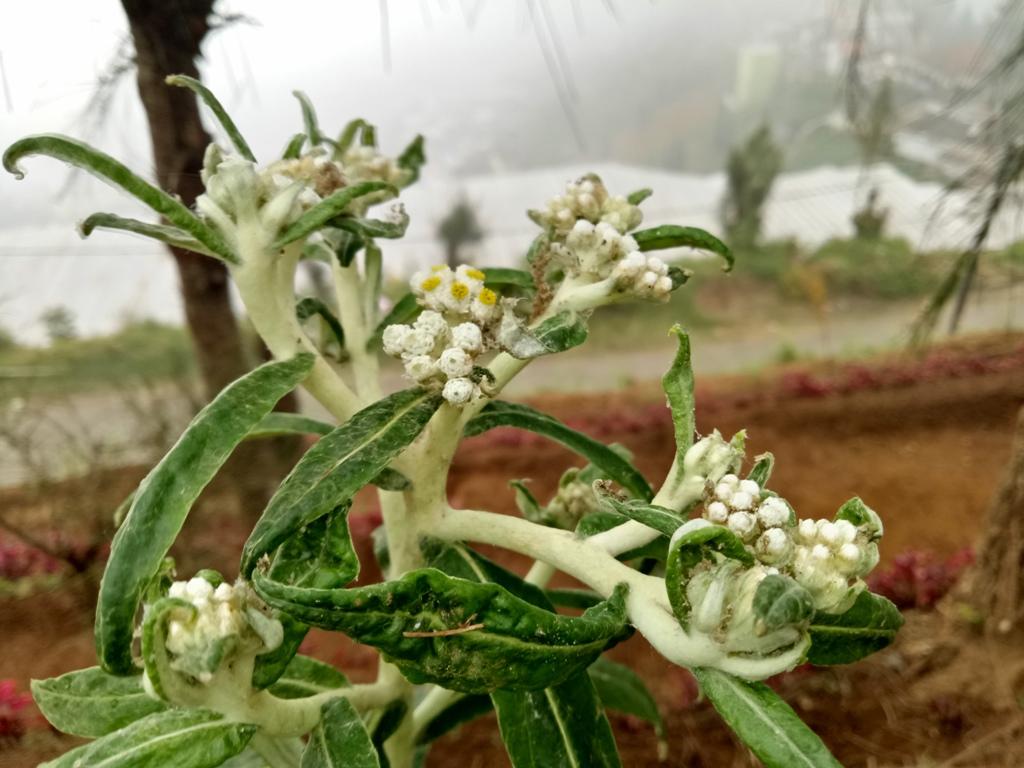 Budidaya Edelweis, Selamatkan Bunga Abadi dari Kepunahan