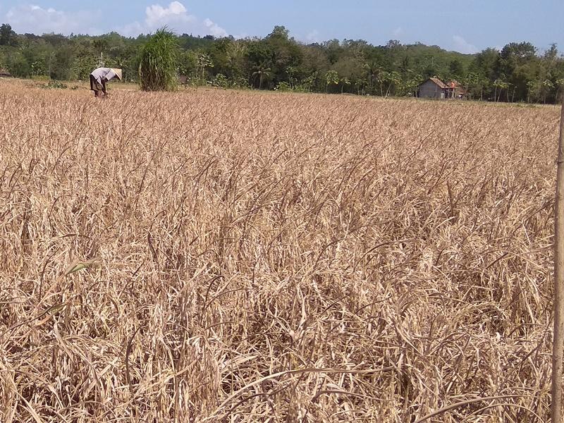 Petani Kulon Progo Gagal Panen