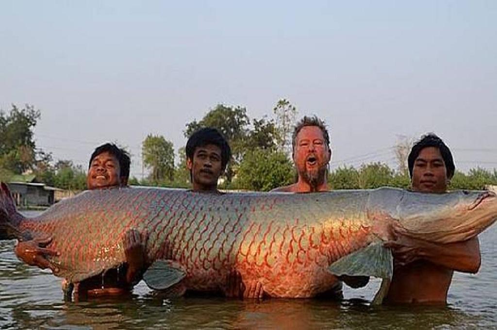 Ikan Arapaima Dipelihara di Batam sejak 14 Tahun Lalu
