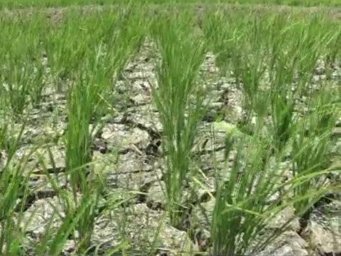 1.700 Hektare Lahan Pertanian di Bekasi Kekeringan