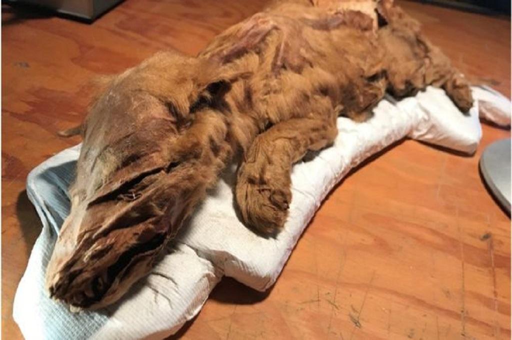 Mumi Utuh Anak Serigala Zaman Es Ditemukan di Kanada