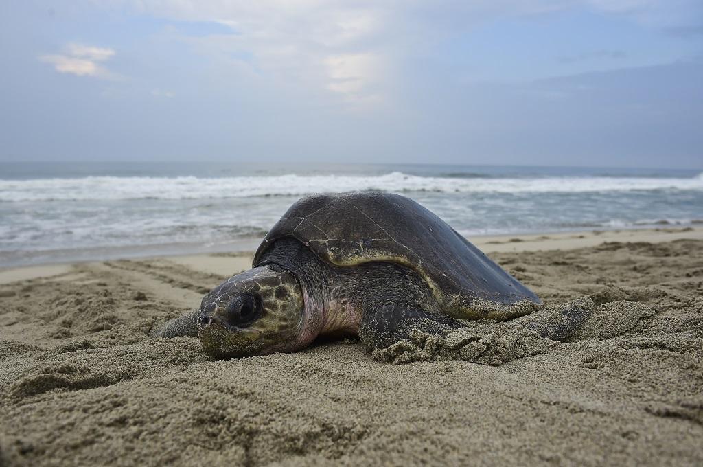 Ratusan Penyu Beku Terdampar di Pantai AS