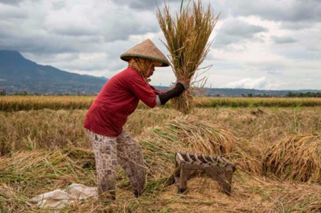 Petani dan Peternak Sapi pun Butuh Asuransi Pertanian