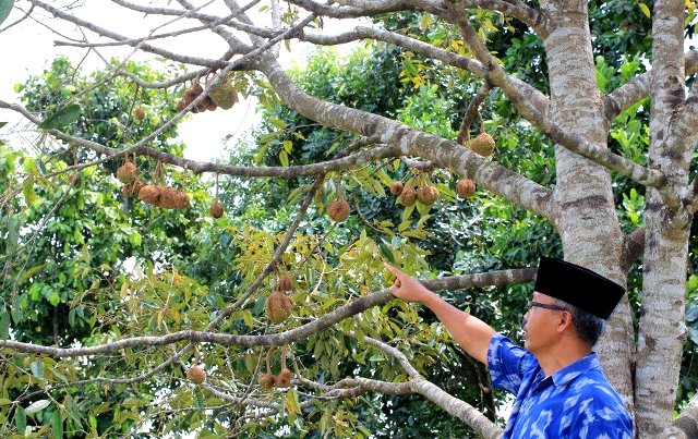 Mengenal Durian Gundul dari Indonesia