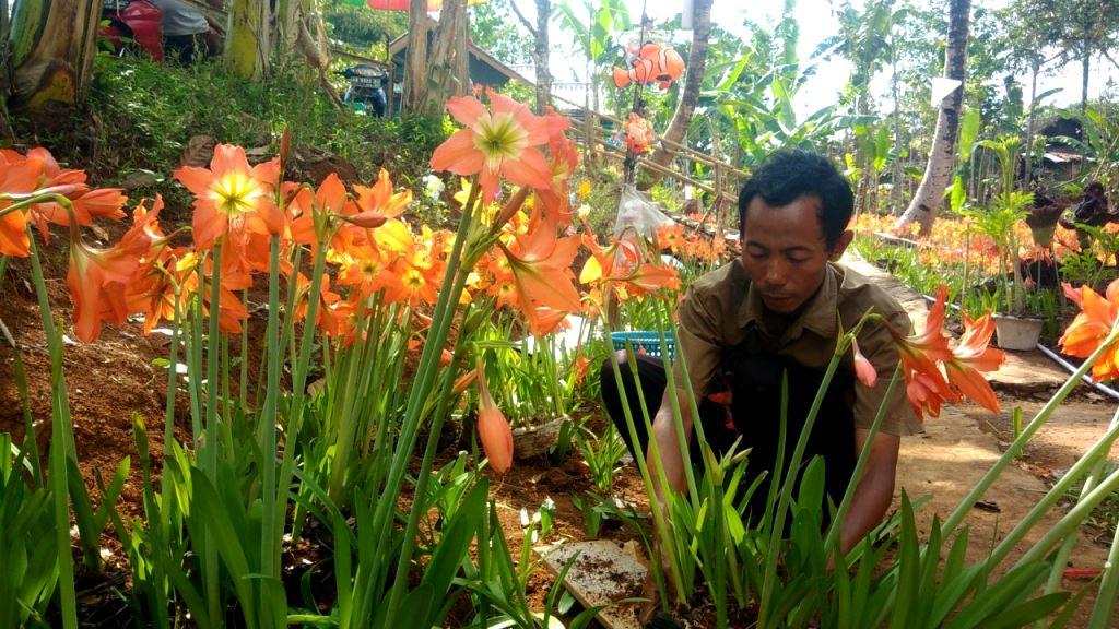 Kebun Bunga Amarilis di Desa Salam Jadi Magnet Wisatawan