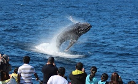 Menyaksikan Atraksi Langka Lumba-lumba Liar di Tangalooma