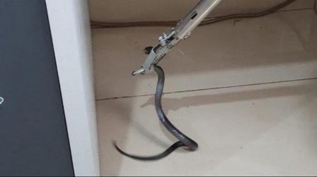 Sanca 3 Meter Ditemukan di Sunter