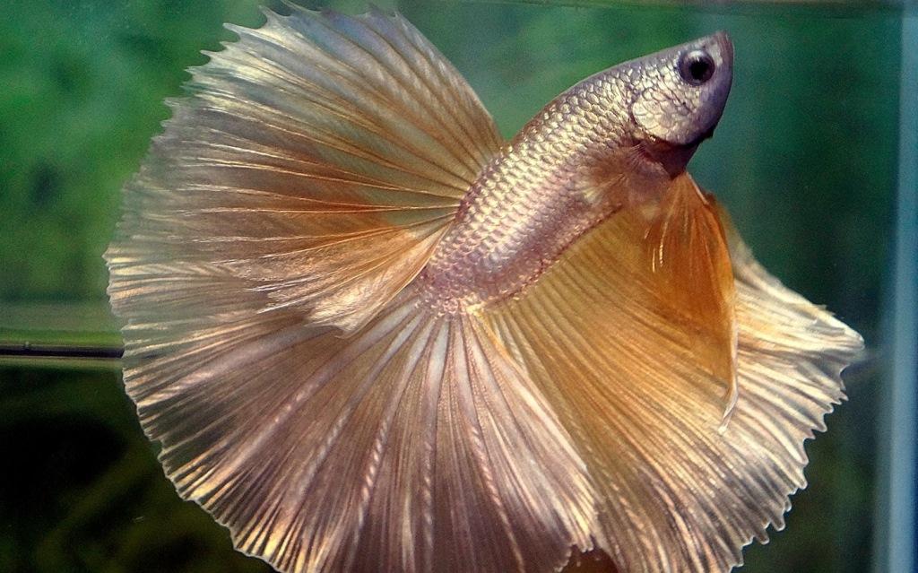 4 Ikan Cupang Termahal Di Dunia Harganya Setara Motor