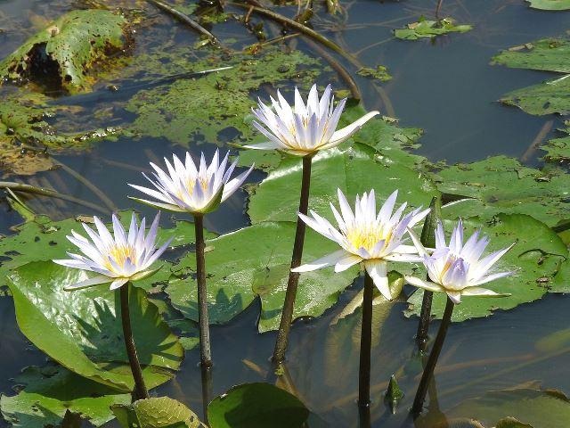tanaman air