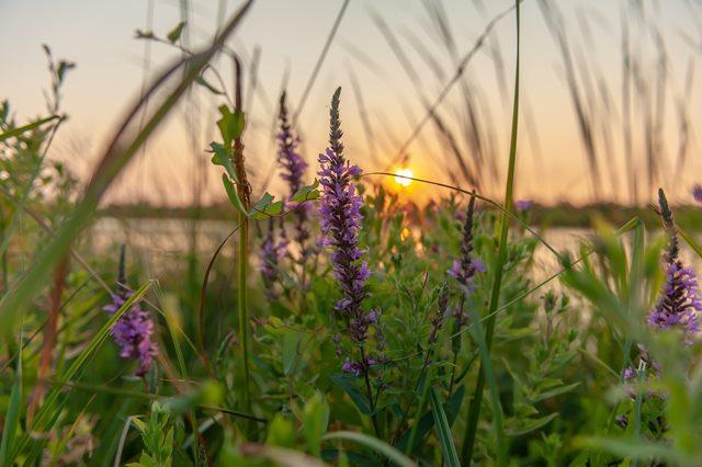 6 Fakta Menarik dari Bunga Lilac