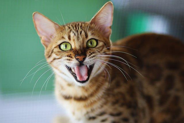 Ini Alasan Mengapa Kucing Sering Menjulurkan Lidahnya
