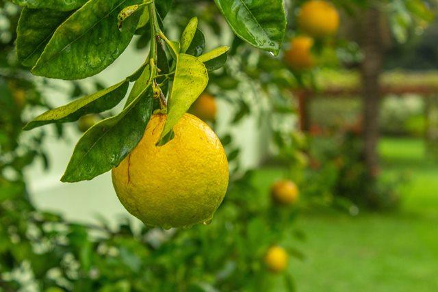 Cara Menanam Pohon Lemon