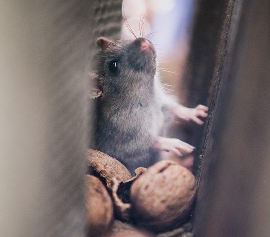 Demam Gigitan Tikus, Gejala dan Pengobatannya