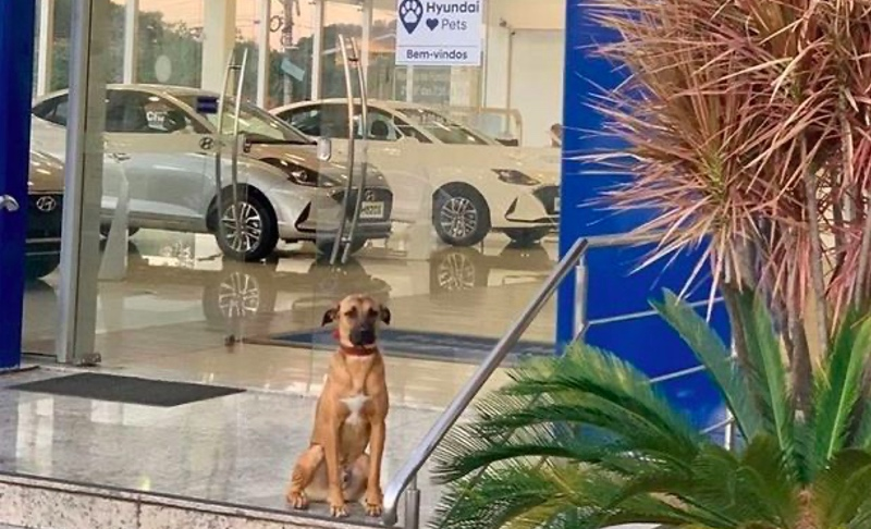 Menarik Perhatian, Anjing Liar Dijadikan Karyawan Showroom Mobil